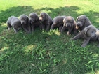 Labrador Retriever Puppy For Sale in DENTON, TX,