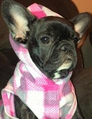 French Bulldog Puppy For Sale in RUSKIN, FL, USA