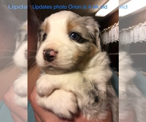 Miniature Australian Shepherd Puppy for sale in MICAVILLE, NC, USA
