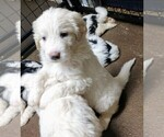 Small Photo #3 Pyredoodle Puppy For Sale in MARION, TX, USA
