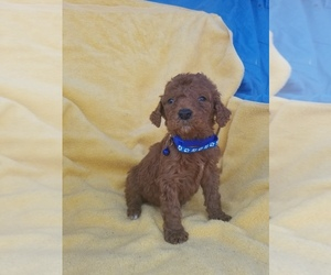 Poodle (Standard) Puppy for Sale in LOWELL, Arkansas USA