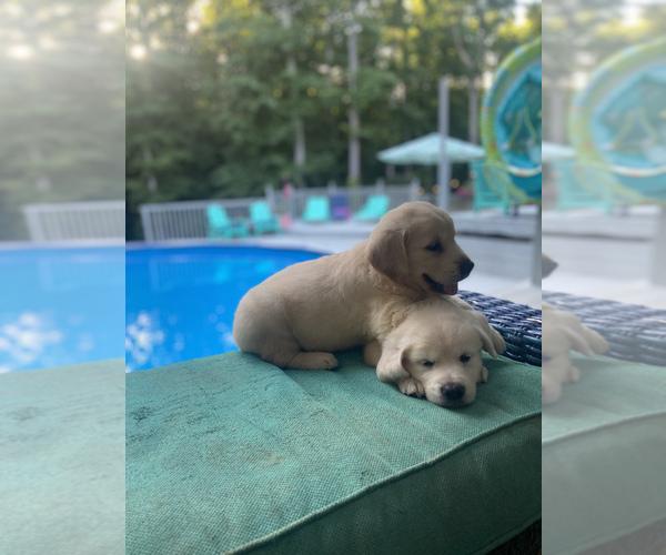 Medium Photo #4 Golden Retriever Puppy For Sale in PIEDMONT, SC, USA