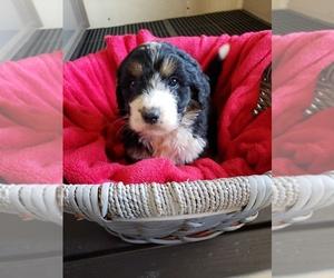 Bernedoodle Dog for Adoption in HAZLETON, Iowa USA