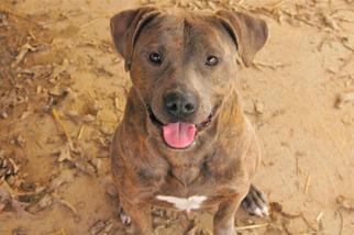 Matheo - Pit Bull Terrier Dog For Adoption