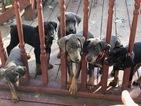 Doberman Pinscher Puppy For Sale in FLINT, MI, USA