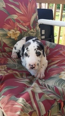 Great Dane Puppy For Sale in SAINT LOUIS, MO
