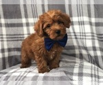 Small Photo #1 Shih Tzu-Yorkie-Poo Mix Puppy For Sale in LAKELAND, FL, USA