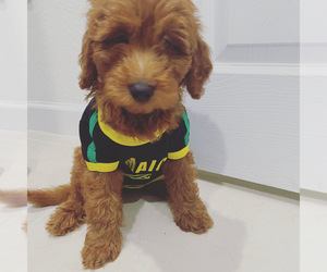Goldendoodle Puppy for Sale in HOMESTEAD, Florida USA