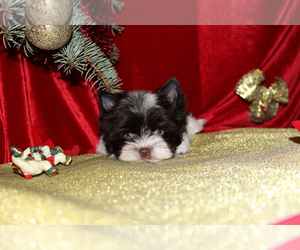 Biewer Terrier Puppy for sale in Minsk, Minsk City, Belarus