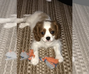 Cavalier King Charles Spaniel Puppy for sale in FRANKLIN, MA, USA