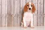 Beaglier Puppy For Sale in MOUNT VERNON, OH, USA