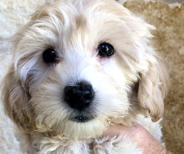 Medium Photo #1 YorkiePoo Puppy For Sale in GEORGETOWN, TX, USA