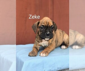 Boxer Puppy for Sale in SHREVE, Ohio USA