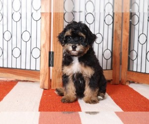 Havanese-Poodle (Toy) Mix Puppy for sale in NAPLES, FL, USA