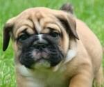 Puppy 4 Beabull