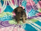 Chihuahua Puppy For Sale in PEACH BOTTOM, PA,