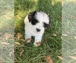 Shih Tzu-Unknown Mix Puppy for sale in SPRINGFIELD, VA, USA