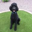 Beautiful AKC Standard Poodle