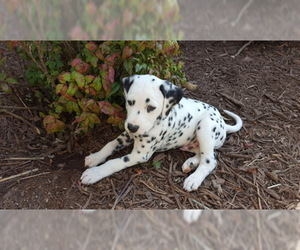 Dalmatian Puppy for Sale in GIBSONVILLE, North Carolina USA