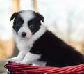 Border Collie Puppy For Sale near 85310, Glendale, AZ, USA