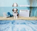 Puppy 5 Miniature American Shepherd