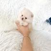 Pomeranian Dog For Adoption near 91748, Rowland Heights, CA, USA