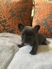 French Bulldog Puppy For Sale in MISSION VIEJO, CA, USA