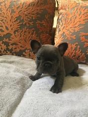 French Bulldog Puppy For Sale in MISSION VIEJO, CA