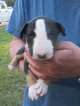 Bull Terrier Puppy For Sale in BLUFFTON, SC