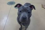 American Pit Bull Terrier-Unknown Mix Dog For Adoption in Princeton, MN