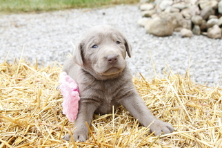 Labrador Retriever Puppy for sale in BUTLER, IN, USA