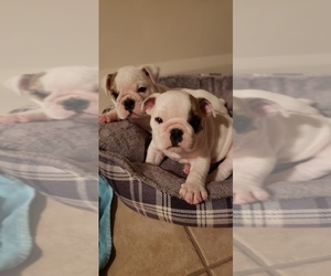 English Bulldogge Puppy for sale in JOHNSON, NE, USA