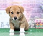 Hank Handsome Male Corgi Puppy