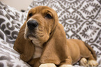 Small #6 Basset Hound
