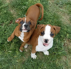 Boxer Puppy for sale in EMIGRANT, MT, USA