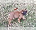 Puppy 0 Boerboel