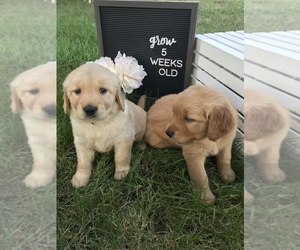 Golden Retriever Puppy for Sale in GRANITE FALLS, Minnesota USA