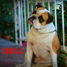 Free-Lance Bulldog Dog For Adoption in LOS ANGELES, CA, USA