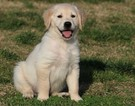 Golden Retriever Puppy For Sale in CLEMENTS, MD, USA