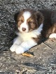 AKC AUSTRALIAN SHEPHERD PUPPIES