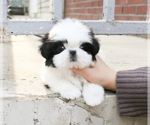 Shih Tzu Puppy for sale in CHINO HILLS, CA, USA
