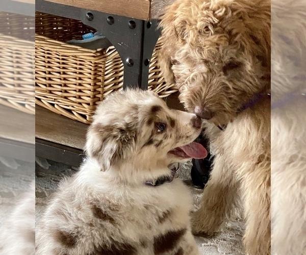 Medium Photo #2 Australian Shepherd Puppy For Sale in SPOKANE, WA, USA