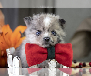 Pomsky Puppy for Sale in LOS ANGELES, California USA
