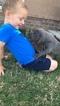 Great Dane Puppy For Sale in GLENPOOL, Oklahoma,