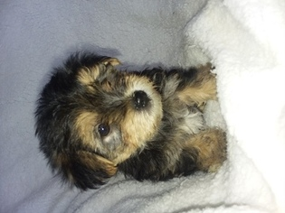 Yorkshire Terrier Puppy For Sale in SUGARCREEK, OH, USA