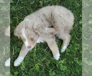 Miniature Australian Shepherd Puppy for sale in LITCHFIELD, OH, USA