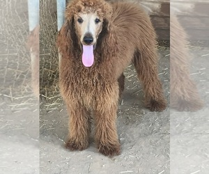 Father of the Goldendoodle puppies born on 08/01/2020