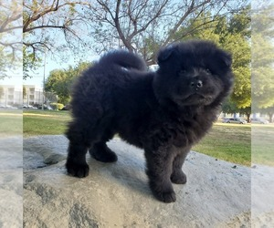 Chow Chow Puppy for sale in NORTH HILLS, CA, USA