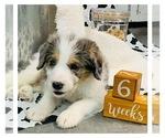 Puppy 1 Border Collie-Poodle (Miniature) Mix