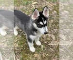 Small Photo #5 Siberian Husky Puppy For Sale in MORGANTOWN, IN, USA